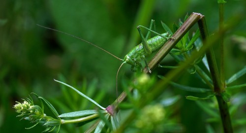 Insectgreengrasshoppernature.jpg